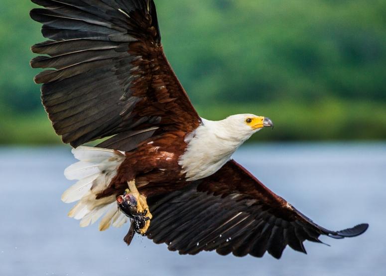 African fish eagle in flight. Uganda
